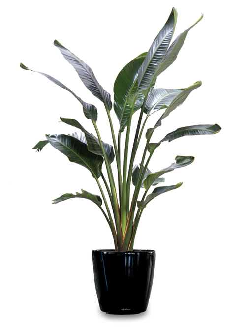 Floor Plant 08 – Birds of Paradise