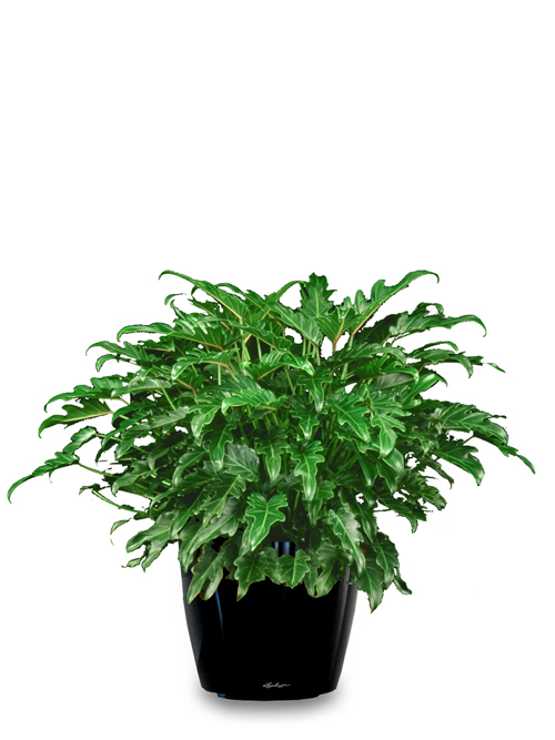 Floor Plant 04 – Philodendron