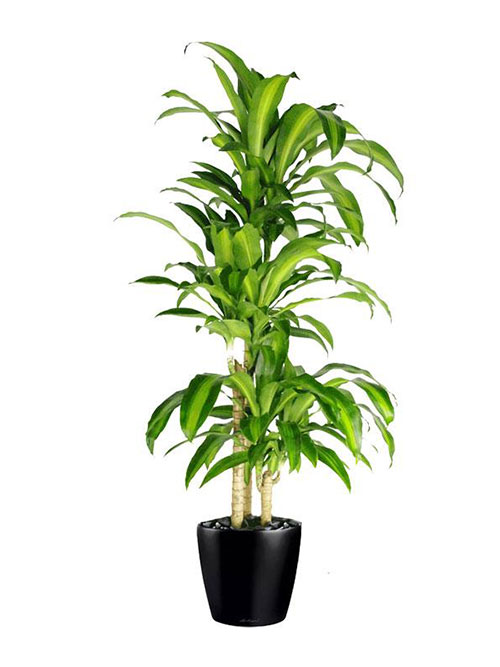 Floor Plant 01 – Happy Plant
