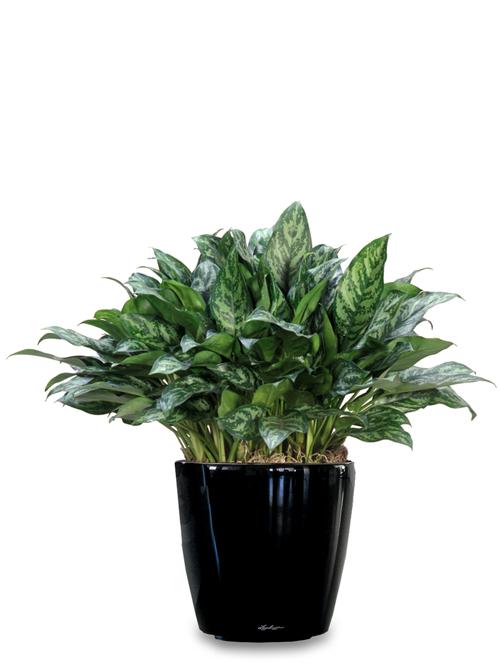 Desk Plant 05 – Algaonema