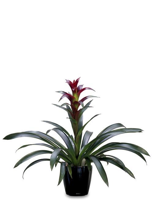 Desk Plant 06 – Bromeliad