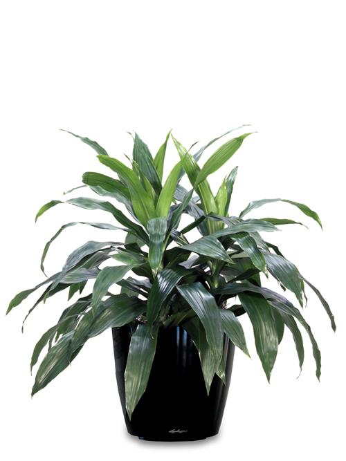 Desk Plant 09 – Dracaena Janet Craig