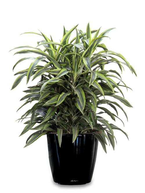 Floor Plant 11 – Dracaena Variety