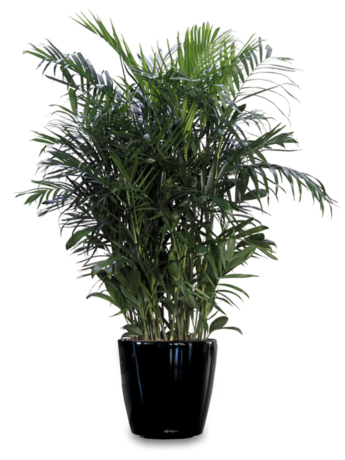 Floor Plant 12 – Bamboo Palm