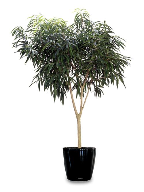 Floor Plant 13 – Saber Ficus