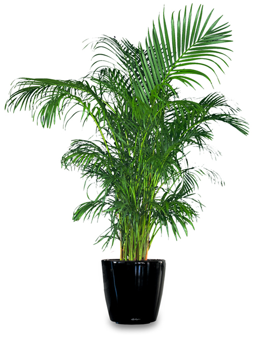 Floor Plant 14 – Golden Cane Palm