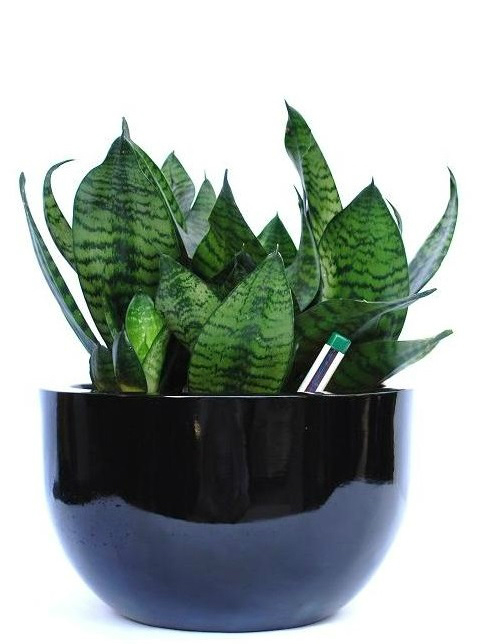 Desk Plant 02 – Sansevieria hahnii