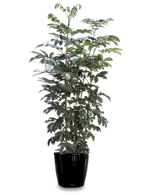 Floor Plant 15 – Kauri Pine