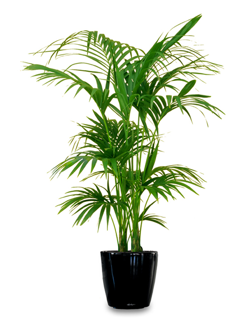 Floor Plant 02 – Kentia Palm