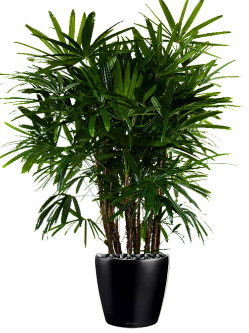 Floor Plant 03 – Lady Palm