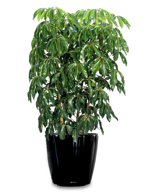 Floor Plant 05 – Umbrella Plant